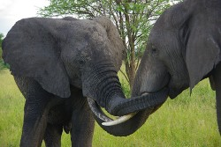 elephantlove 250x167 Country Guide: South Africa