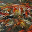 Chinese Goldfish