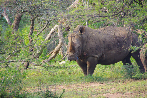 rhinoceros in kruger park, south africa