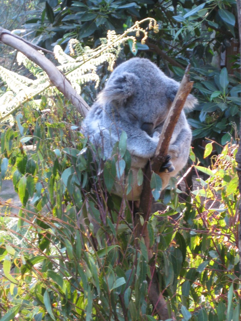 Koala at Blackbutt Nature Reserve, Newcastle, Australia